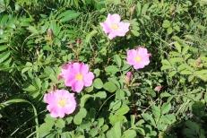 Wild prairie rose